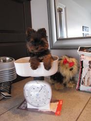 Nounours, chien Yorkshire Terrier