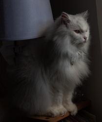 Nounousse, chat Persan
