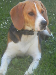 Nourick, chien Beagle-Harrier