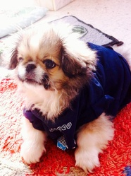 Noushka, chien Spitz japonais