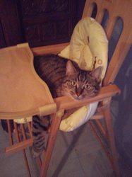 Nouska, chat Toyger
