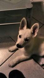 Nova, chien Berger blanc suisse