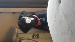 Nova, chien Labrador Retriever