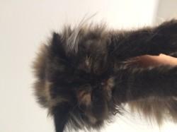 Nova, chaton Persan