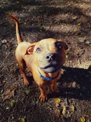 Nova, chiot Staffordshire Bull Terrier