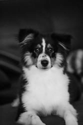 Nova, chien Berger des Shetland