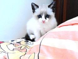 Nova, chat Siamois