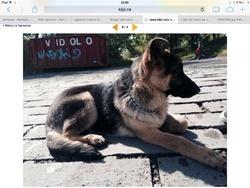 Nova, chien Berger allemand