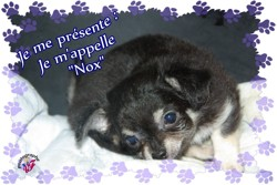 Nox, chiot Chihuahua