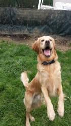 Noze, chien Golden Retriever