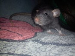 Nozomie, rongeur Rat
