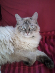 Nuage, chat Birman