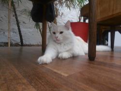 Nuage, chat Angora turc