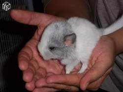 Nuage, rongeur Chinchilla