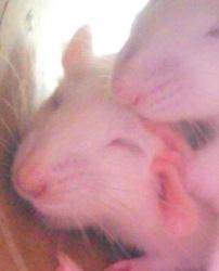 Nuage, rongeur Rat