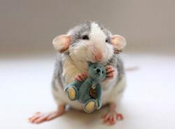 Nuage Et Remy, rongeur Rat