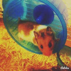 Nugget, rongeur Hamster