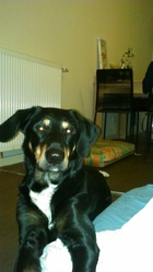 Nugget, chien Beauceron