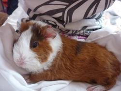 Nugget, rongeur Cochon d'Inde