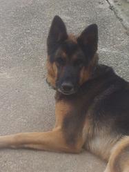 Nuka, chien Berger allemand
