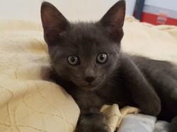 Nuki, chaton Européen