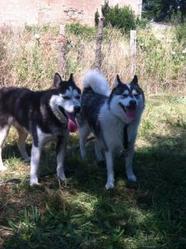 Nukka, chien Husky sibérien