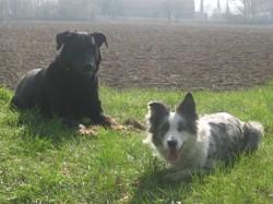Nuliak, chien Beauceron