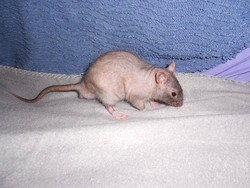 Nunu, rongeur Rat