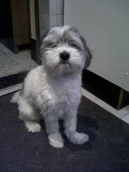 Nuppy, chien Terrier tchèque