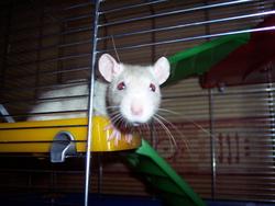 Nurofen, rongeur Rat
