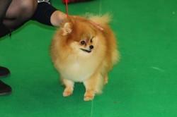 Nusha, chien Spitz allemand