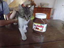 Nutella, chat Européen
