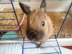 Nutella, rongeur Lapin