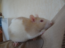 Nuts , rongeur Rat