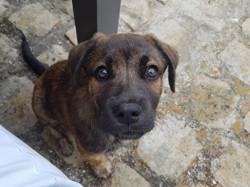 Nuts, chien Cão fila de São Miguel