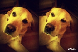Nuts, chien Labrador Retriever