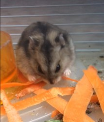 Nuts, rongeur Hamster