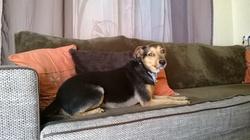 Nutsy, chien Pinscher autrichien à poil court