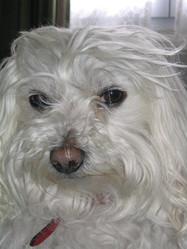 Nutz, chien Bichon maltais