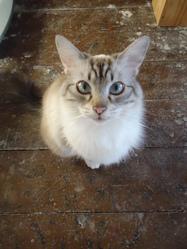 Nyappy, chat Gouttière