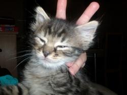 Nyfoune, chat Gouttière