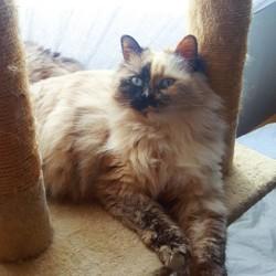 Nymphéa, chat Européen