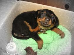 Nyx, chien Rottweiler