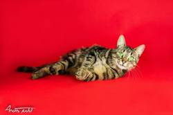 Nyx, chat Européen