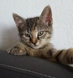 Nyx, chaton Européen