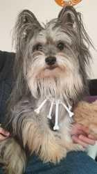 Nyx, chien Chien courant hellénique