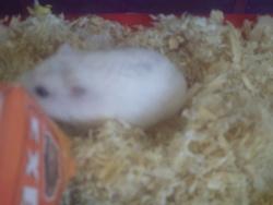 Nyy Au Paradis , rongeur Hamster