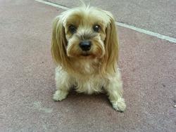 Oasis, chien Yorkshire Terrier