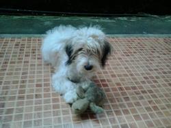 Obelix, chien Bichon havanais