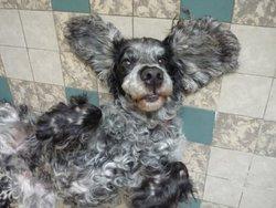 Obelix, chien Cocker anglais
